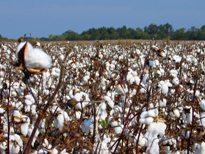政府棉花支持计划打击竞争力 - 美国农业部