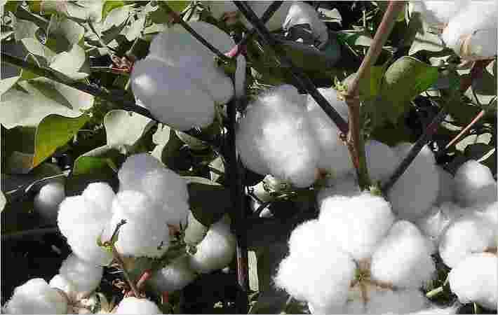 美国棉花种植面积预测2015年下降:USDA