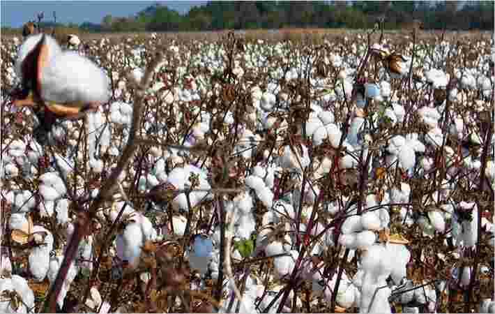 CDRA推出棉花采摘机器
